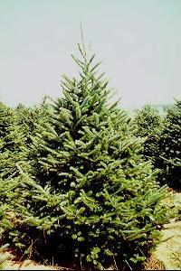 Η περιβαλλοντολογική επιβάρυνση από τα Χριστουγεννιάτικα Δέντρα