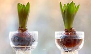 Καλλιεργείστε βολβούς σε νερό
