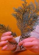 2. Αφαιρέστε τους πλάγιους βλαστούς με τακουνάκι