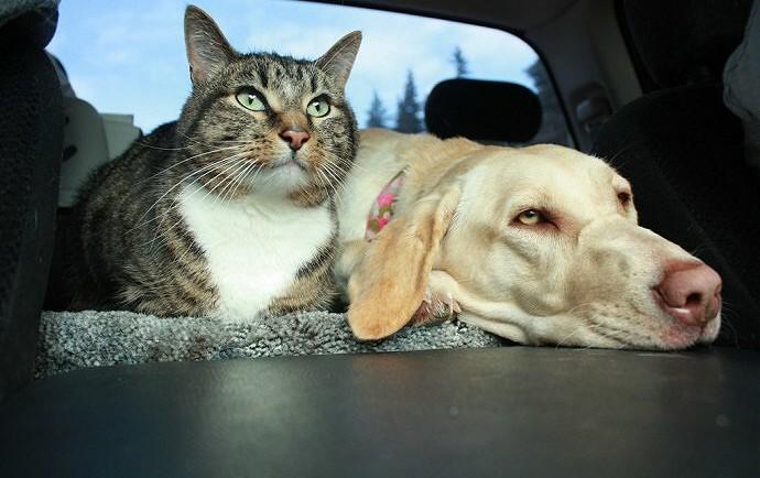 Οι 10 σημαντικότεροι λόγοι για να μην ταξιδεύετε με τα κατοικίδιά σας Ταξίδι με τη γάτα ή τοσκύλο