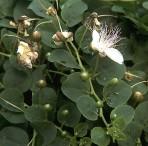 Κάπαρη (capparis spinosa)