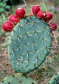 Φραγκοσυκιά (opuntia ficus indica)