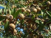Γκορτσιά (pyrus pyraster)