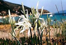 Κρίνος της θάλασσας (pancratium maritimum)