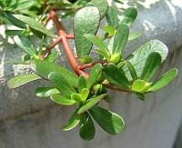 Γλιστρίδα ή αντράκλα (portulaca oleracea)