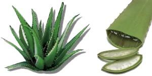Αλόη Βέρα, το φυτό που κάνει θαύματα