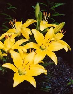 Lilium Connecticut King - (Asiatic lilies)