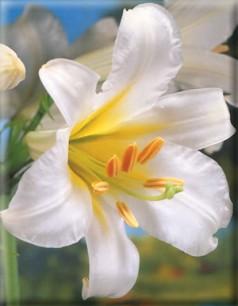 Lilium Regale - (Aurelian lilies)