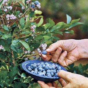 Καλλιεργήστε φρούτα του δάσους στον κήπο ή το μπαλκόνι σας.