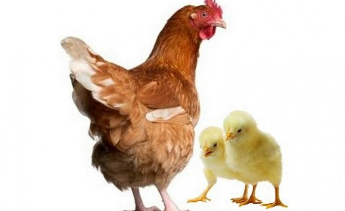 Τα κοτόπουλα σαν κατοικίδια