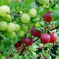 Λαγοκέρασο (Ribes uva-crispa)