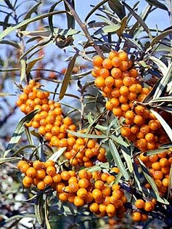 Ιπποφαές. 190 ωφέλιμα συστατικά σε ένα φυτό!