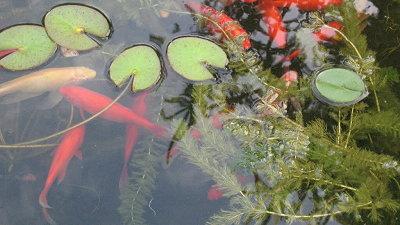 Ψάρια στη λίμνη εσωτερικού χώρου