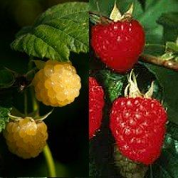 Σμέουρο - Φραμπουάζ (Framboise) (Rubus idaeus)