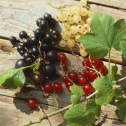 Φραγκοστάφυλο (Ribes spp)