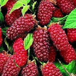 Τάϊμπερρι (Tayberry) (Rubus taiwanicola)