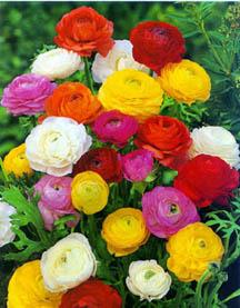 άνθη νεραγκούλας