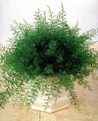 Διακοσμητικό φυτό Neptunus