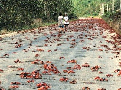 Κόκκινα καβούρια κατακλύζουν τους δρόμους