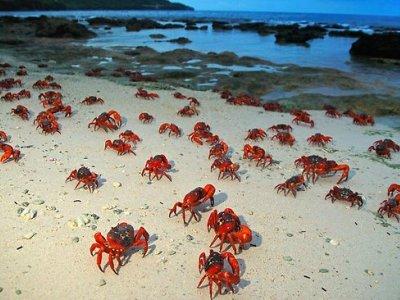 Κόκκινα καβούρια κατακλύζουν τις ακτές