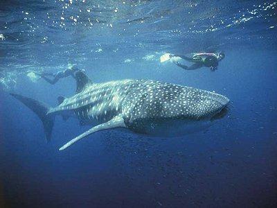 Φαλαινοκαρχαρίας (Rhincodon typus) στη θάλασσα του Νησιού των Χριστουγέννων