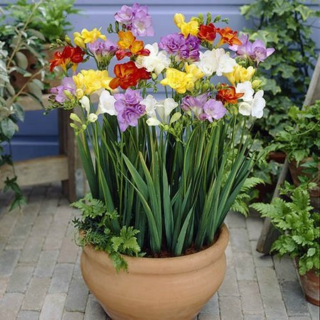 freesia_pot