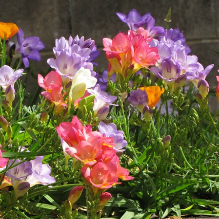 fresia_garden