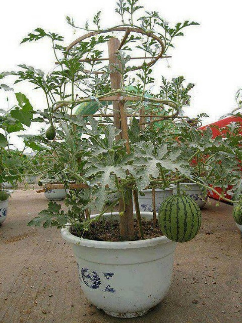 watermelon_in_containers_11a