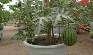 Πώς να καλλιεργήσετε καρπούζια σε δοχεία