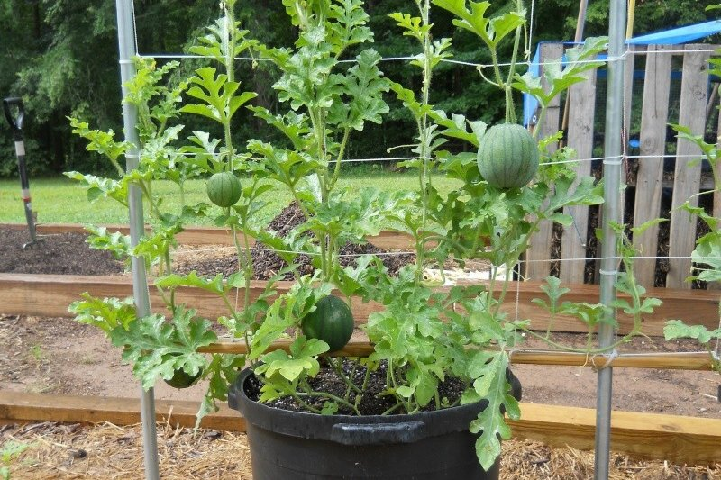 watermelon_in_containers_5a