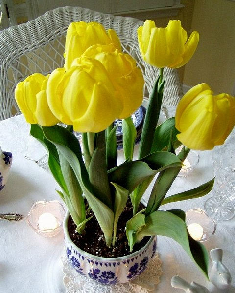 tulips_indoors