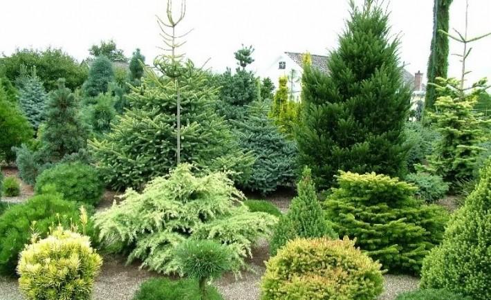 Καλλιεργήστε και πολλαπλασιάστε κωνοφόρα