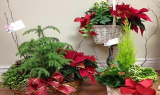 Φροντίστε τα ανθισμένα φυτά του σπιτιού τα Χριστούγεννα Αλεξανδρινό ή ποϊνσέτια