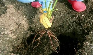 Πώς να φυτέψω μια γυμνόριζη τριανταφυλλιά