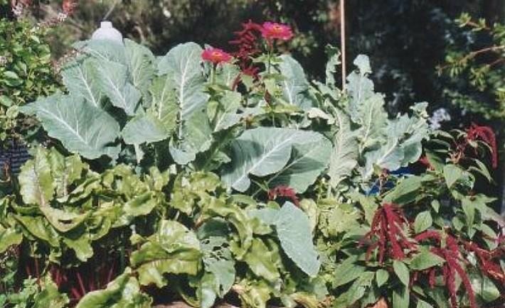 Συγκαλλιέργεια Καλλιεργείστε δύο ή πιο πολλά είδη φυτών μαζί