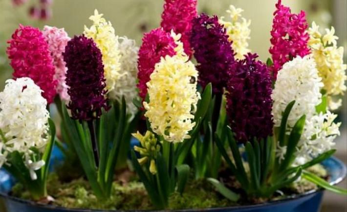 Πώς να καλλιεργήσετε υάκινθους (ζουμπούλια) σε εσωτερικό χώρο