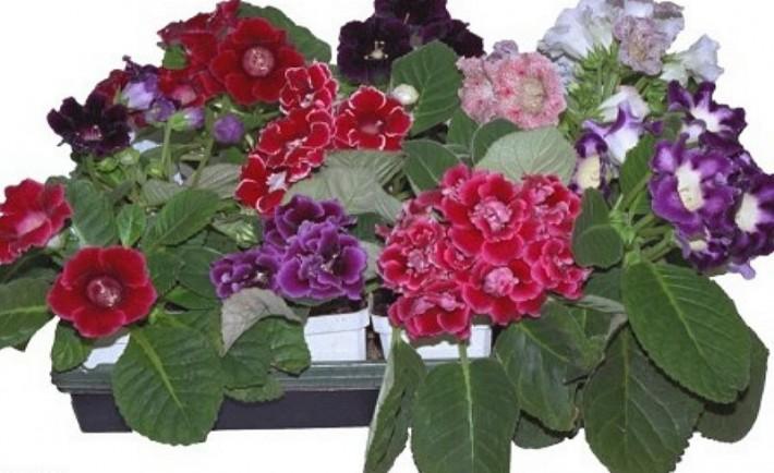 Πώς να καλλιεργήσετε γκλοξίνιες από κόνδυλο