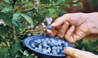 Καλλιεργήστε φρούτα του δάσους στον κήπο ή το μπαλκόνι σας