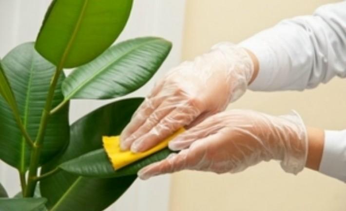 Πώς να καθαρίσετε τα μεγάλα φυτά εσωτερικού χώρου