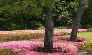 Φυτέψτε λουλούδια κάτω από ένα πεύκο