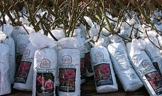 Πώς να αγοράσετε τριανταφυλλιές