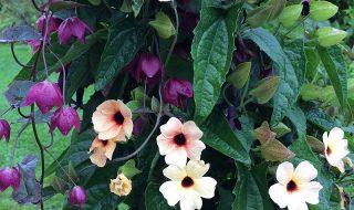 Ετήσια αναρριχώμενα φυτά. Γρήγορο και εύκολο αποτέλεσμα στον κήπο
